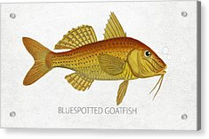 Bluespotted Goatfish Acrylic Print by Aged Pixel