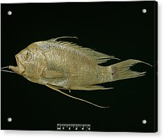 Blunt Headed Holy Fish Acrylic Print by Natural History Museum, London