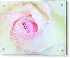 Blushed Rose Acrylic Print by Sabrina L Ryan