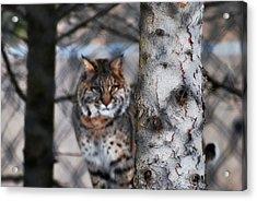 Bobcat Acrylic Print by StudioBoldt   Photography