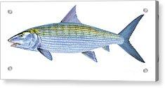 Bonefish Acrylic Print by Carey Chen