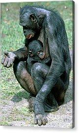 Bonobo Pan Paniscus Nursing Acrylic Print by Millard H. Sharp
