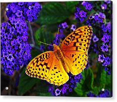 Boothbay Butterfly Acrylic Print by Bill Caldwell -        ABeautifulSky Photography