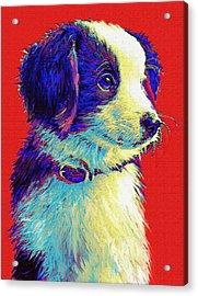Border Collie Puppy Acrylic Print by Jane Schnetlage