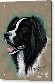 Border Collie Acrylic Print by Val Stokes