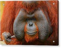 Bornean Orangutan Acrylic Print by Lourry Legarde