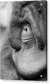 Bornean Orangutan V Acrylic Print by Lourry Legarde