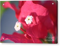 Bougainvillea 2 Acrylic Print by Cheryl Young