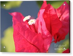 Bougainvillea 3 Acrylic Print by Cheryl Young