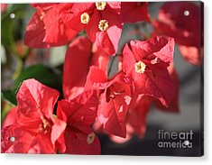 Bougainvillea 4 Acrylic Print by Cheryl Young