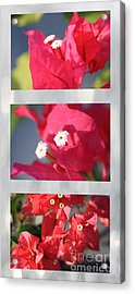 Bougainvillea Triptych Acrylic Print by Cheryl Young