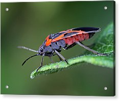 Boxelder Bug Acrylic Print by Juergen Roth