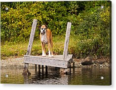 Boxer On Lake Dock Acrylic Print by Stephanie McDowell