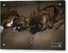 Boxers At Rest Acrylic Print by Suzi Nelson