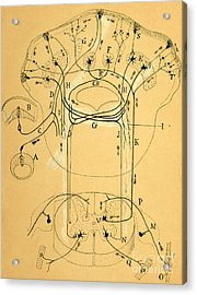 Brain Vestibular Sensor Connections By Cajal 1899 Acrylic Print by Science Source