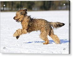 Briard Running In Snow Acrylic Print by John Daniels