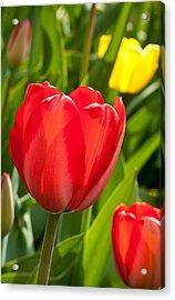 Bright Red Tulip Acrylic Print by Karol Livote