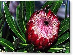 Bright'n'happy Protea Acrylic Print by Kaye Menner