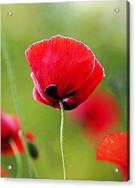Brilliant Red Poppy Flower Acrylic Print by Rona Black