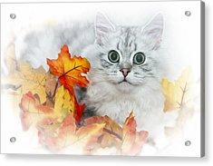 British Longhair Cat Acrylic Print by Melanie Viola