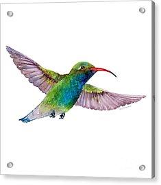 Broad Billed Hummingbird Acrylic Print by Amy Kirkpatrick