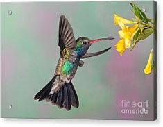 Broad-billed Hummingbird Acrylic Print by Jim Zipp