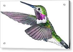 Broad-tailed Hummingbird Acrylic Print by Roger Hall