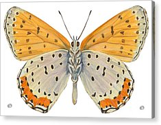 Bronze Copper Butterfly Acrylic Print by Anonymous
