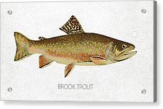 Brook Trout Acrylic Print by Aged Pixel