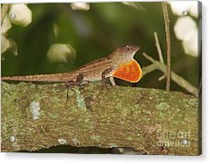 Brown Anole Splendor Acrylic Print by Lynda Dawson-Youngclaus