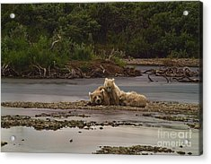 Brown Bear And Cubs Taking A Break From Fishing For Salmon Acrylic Print by Dan Friend