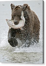 Brown Bear With Salmon Catch Acrylic Print by Gary Langley