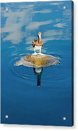 Brown Booby And Marine Turtle Acrylic Print by Christopher Swann