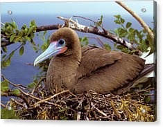 Brown Color Morph Of Red-footed Booby Acrylic Print by Thomas Wiewandt