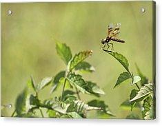 Brown Hawker Dragonfly Acrylic Print by Jason Politte