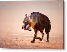 Brown Hyena With Bat-eared Fox In Jaws Acrylic Print by Johan Swanepoel