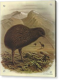 Brown Kiwi Acrylic Print by J G Keulemans