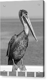 Brown Pelican Acrylic Print by Christian Heeb