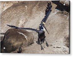 Brown Pelican Landing Acrylic Print by Darleen Stry
