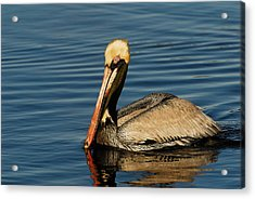Brown Pelican Acrylic Print by Stefan Carpenter