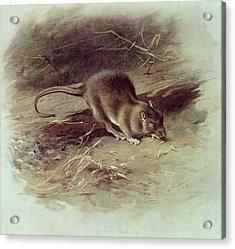 Brown Rat Rattus Norvegicus 1918 Coloured Engraving Acrylic Print by Archibald Thorburn