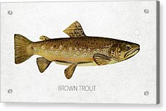 Brown Trout Acrylic Print by Aged Pixel