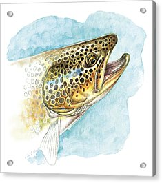 Brown Trout Study Acrylic Print by JQ Licensing