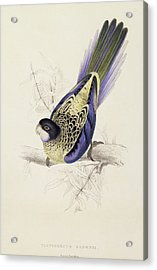 Browns Parakeet Acrylic Print by Edward Lear