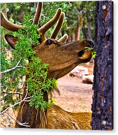 Browsing Red Deer In The Grand Canyon Acrylic Print by Bob and Nadine Johnston