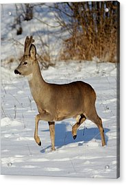 Buck Roe Deer  Acrylic Print by Dragomir Felix-bogdan