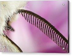 Buff Ermine Moth Antenna Acrylic Print by Mr Bennett Kent