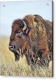 Buffalo Portrait Acrylic Print by Dale Erickson