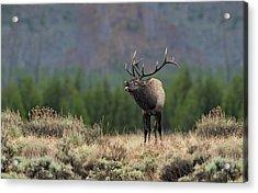 Bull Elk Calling Acrylic Print by Daniel Behm