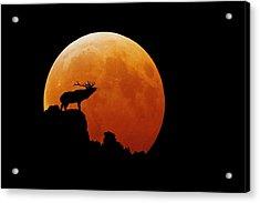 Bull Elk Acrylic Print by Stuart Harrison